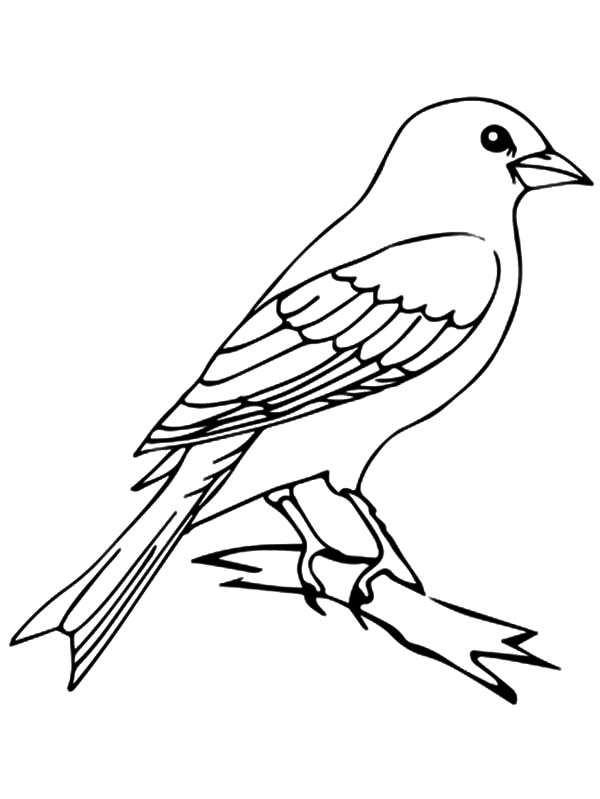 canary bird coloring pages - photo#39